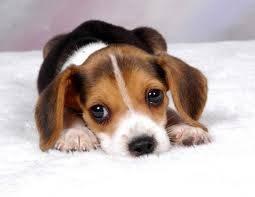 Pequeño beagle
