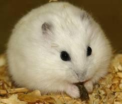 hamster¡que bonito¡